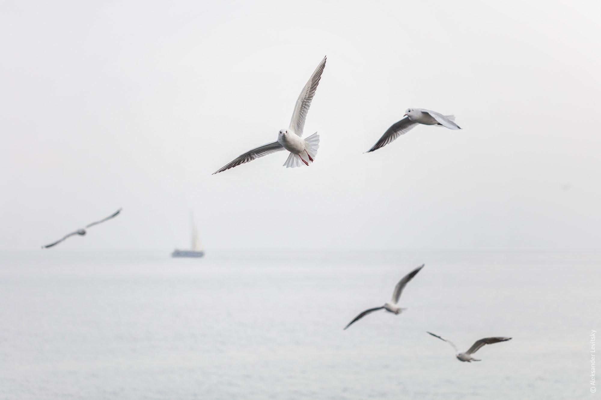 Одесские чайки